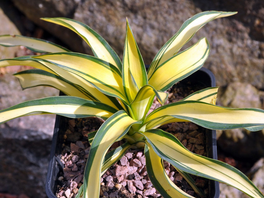 Yucca gloriosa Tiny Star