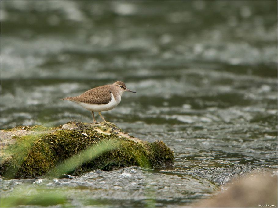 Flussuferläufer (Schnepfen), Mai 2014