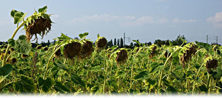 Hitze und Trockenheit machen der Pflanzenwelt und den Landwirten zunehmend zu schaffen. | Bild: Denny Karran