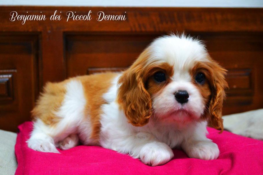 cucciolo Cavalier King Blenheim