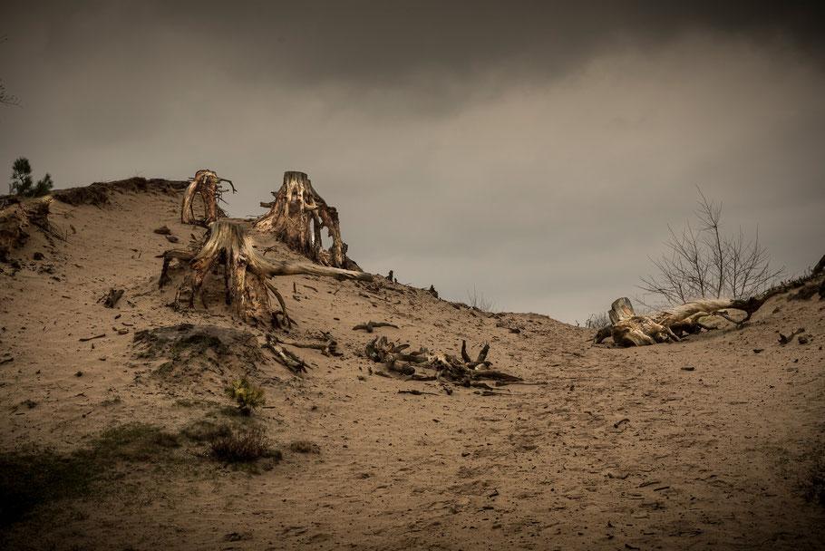 De stronken van het Hulshorster Zand die je op vrijwel iedere zandverstuiving tegenkomt