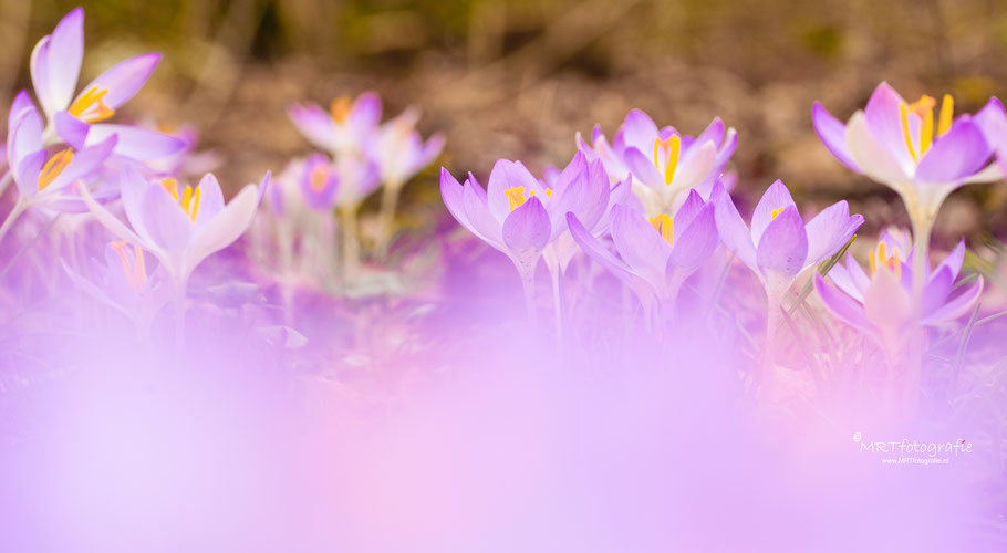 Krokussen achter paars veld