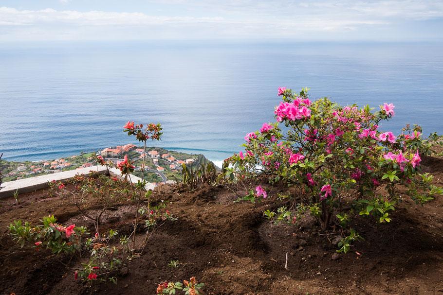 Bloeiende azalea hoog boven de zeespiegel. Madeira