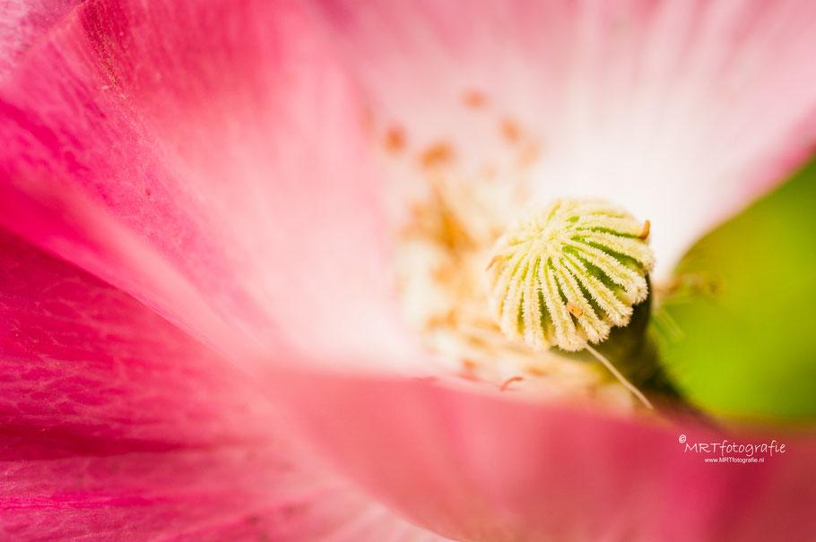 Roze klaproos, macrofotografie