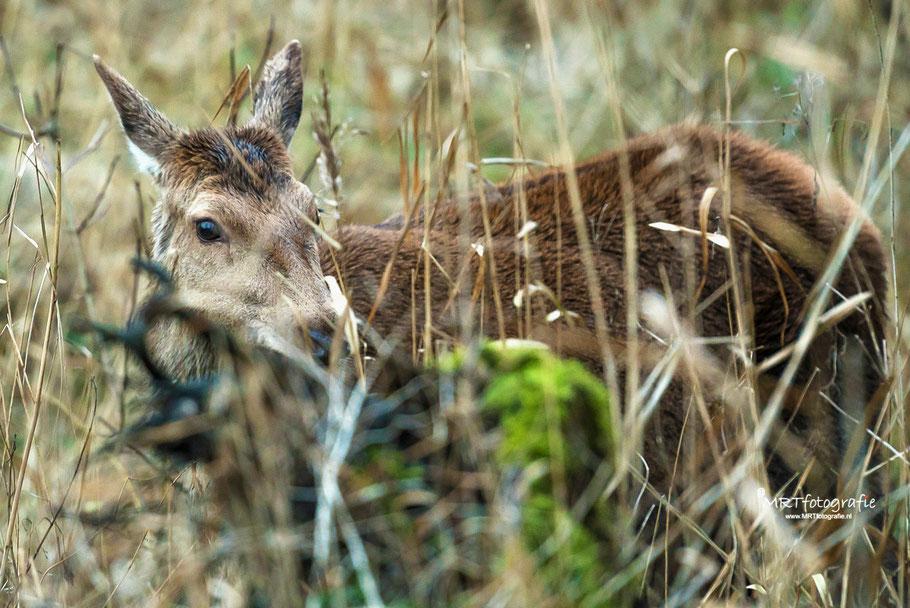 Hert verborgen in het gras Oostvaarders Plassen. Scherpstellen