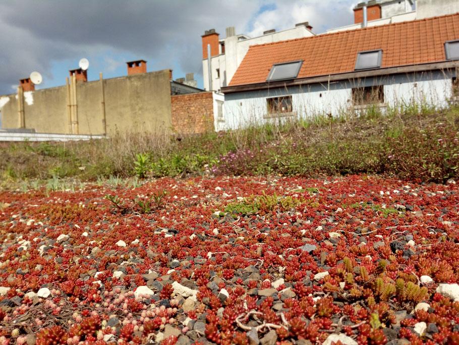 Toit végétalisé - Marguerite Ferry - Urban Garden Designer - Bruxelles - Blog Jardin Belgique
