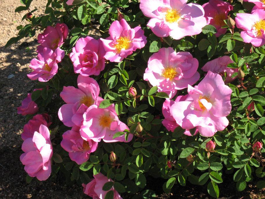 Plantations rosiers automne - Marguerite Ferry / Urban Garden Designer - Bruxelles- Blog Jardin Belgique