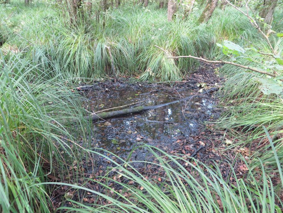 Restant water in het broekbos van het Eikenmoeras.