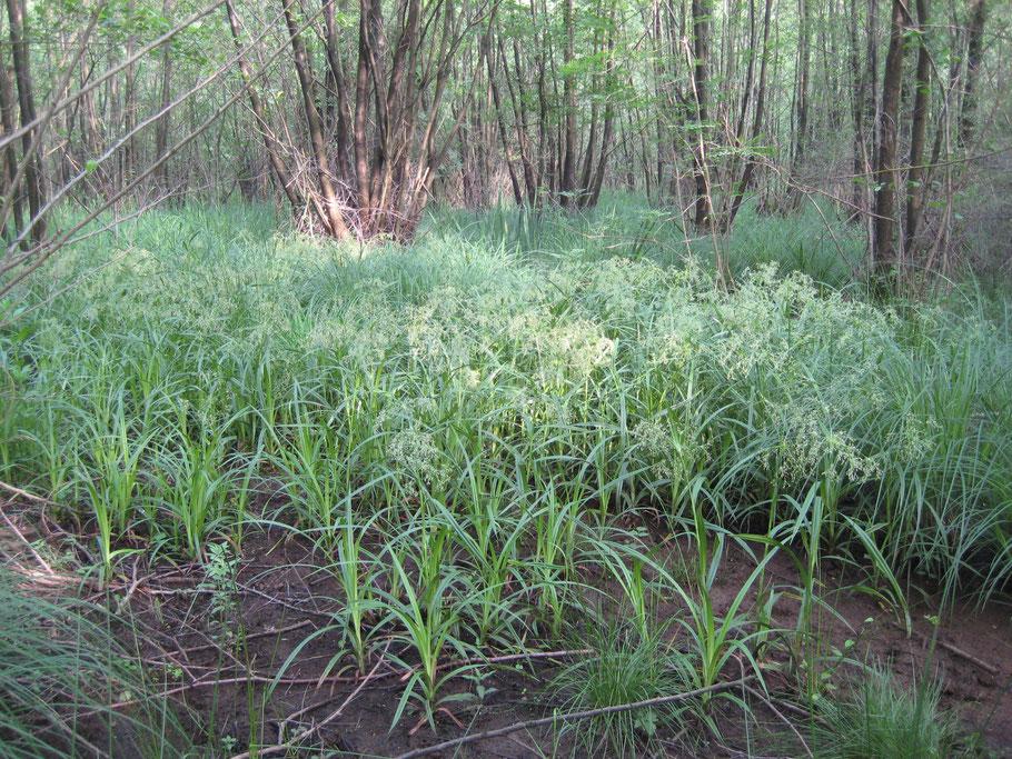 Bosbies in Elzenbroekbos; kwelrijk Eikenmoeras