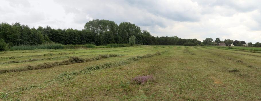 De Buizerdwei is in augustus gemaaid/gehooid. In het achterste deel gebeurde dat voor de tweede keer. Op de voorgrond een groepje gespaarde Struikhei.