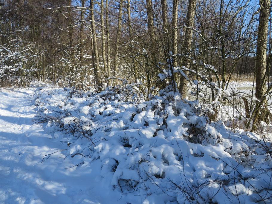 Braamstruweel onder de sneeuw.
