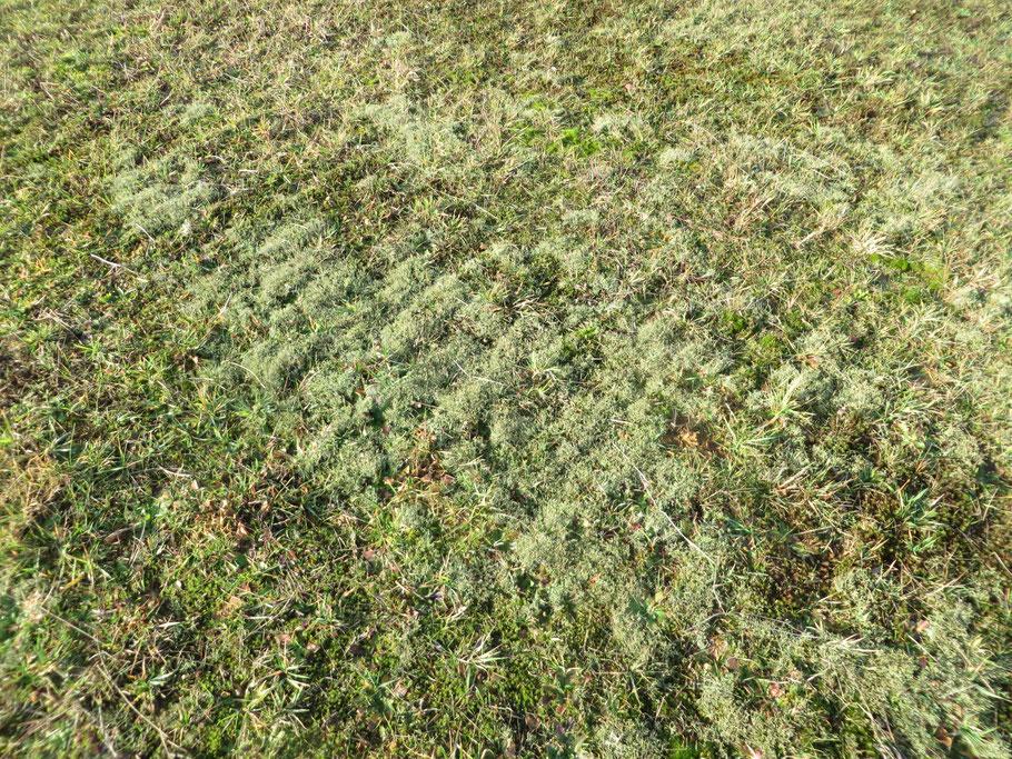 Gevorkt heidestaartje (Cladonia furcata) in de Buizerdwei op 19-12-2019 (det. Klaas van Dort).