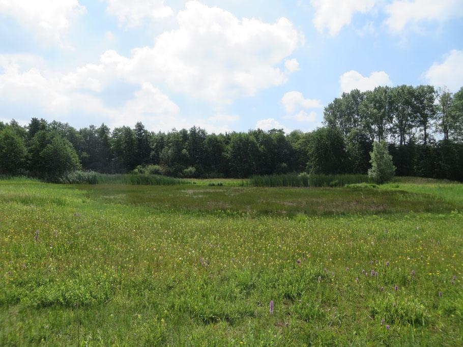 Het restant van de grote plas in de Buizerdwei in juni 2019. Het grasland is nog niet gemaaid. Op de voorgrond-rechts enkele exemplaren Gevlekte orchis. De gele bloemen zijn van Grote ratelaar.