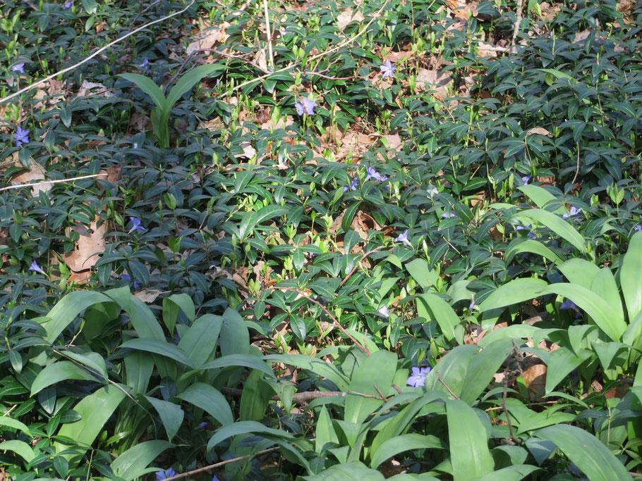 Daslook en bloeiende Kleine maagdenpalm