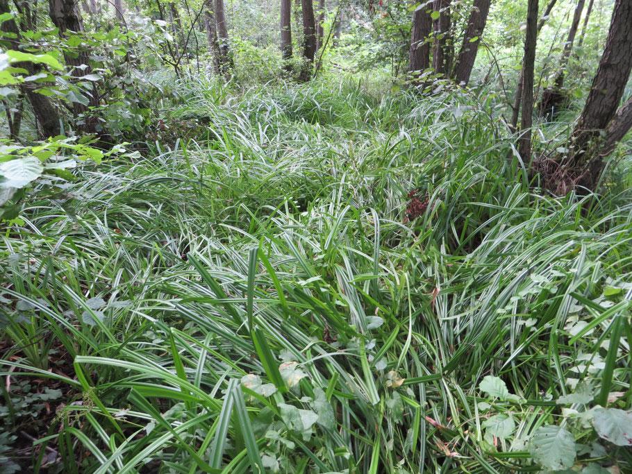 In het broekbos van het Eikenmoeras is door de droogte (kwelwater wordt minder door regenwater tegengehouden) Bosbies massaal tot ontwikkeling gekomen.