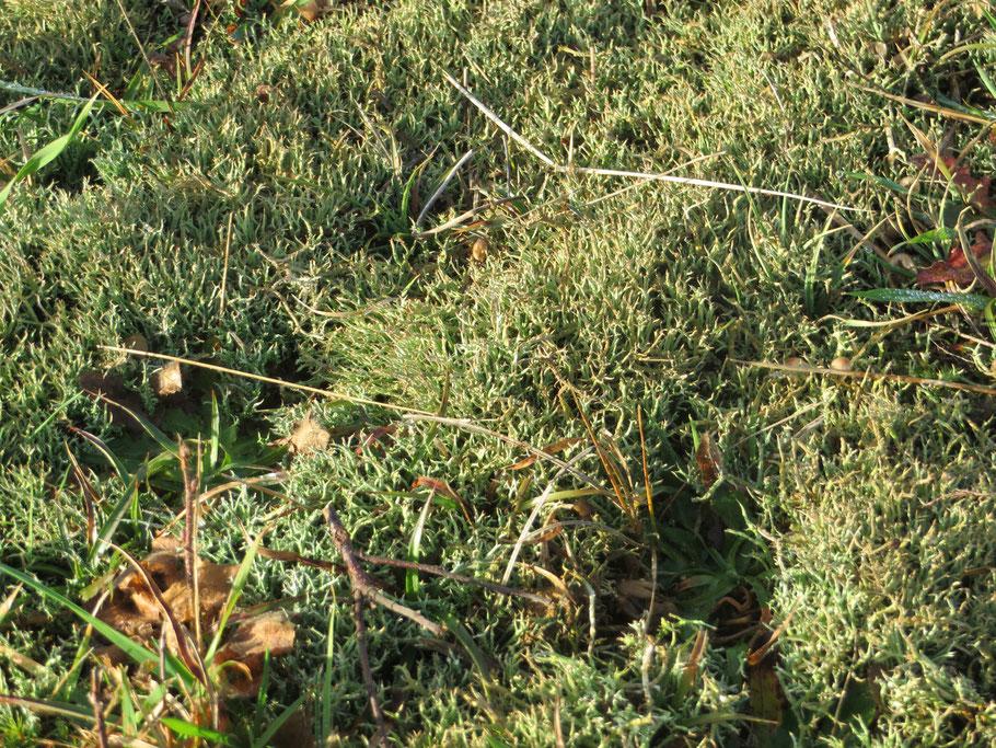 Gevorkt heidestaartje (Cladonia furcata var. scubriuscula) in de Zumpe, 19-12-2019.