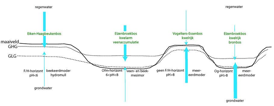 Schematische weergave van enkele in de Zumpe voorkomende bostypen en humusvormen en beïnvloedende abiotische parameters in kwelarme en kwelrijke omstandigheden. GHG=gemiddelde hoogste grondwaterstand; GLG=gemiddelde laagste grondwaterstand