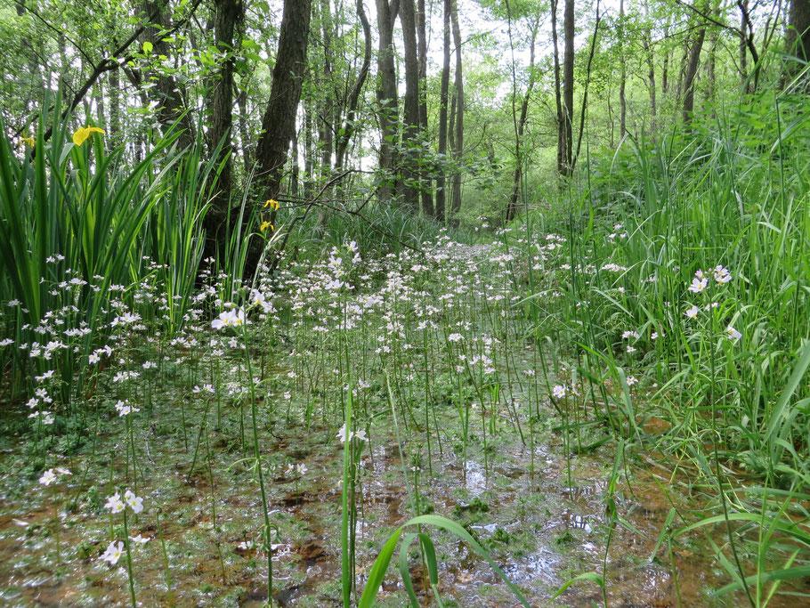De Zompesloot in mei 2016, uitbundig begroeid met Waterviolier (Hottonia palustris).