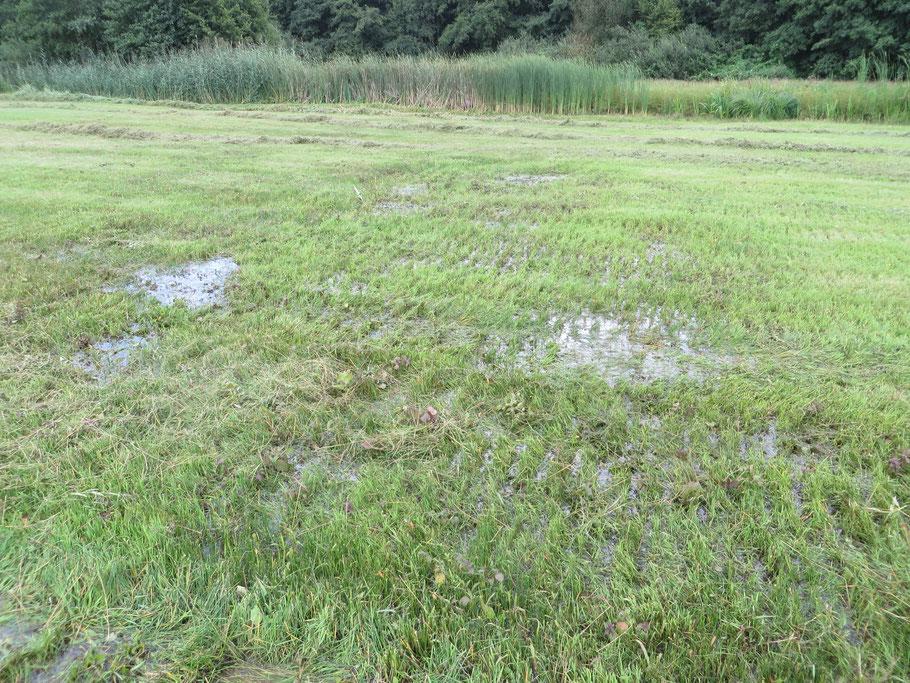 Het restant van de grote plas in de Buizerdwei in augustus 2019. De plas is nu met grassen begroeid en gehooid.