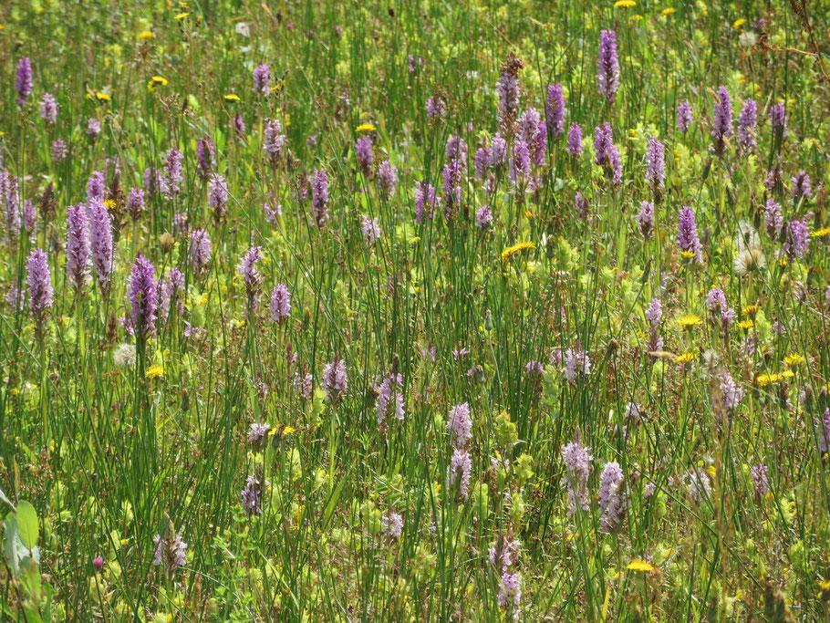 Grasland met o.a. Gevlekte orchis en geen dominantie van Gestreepte witbol.