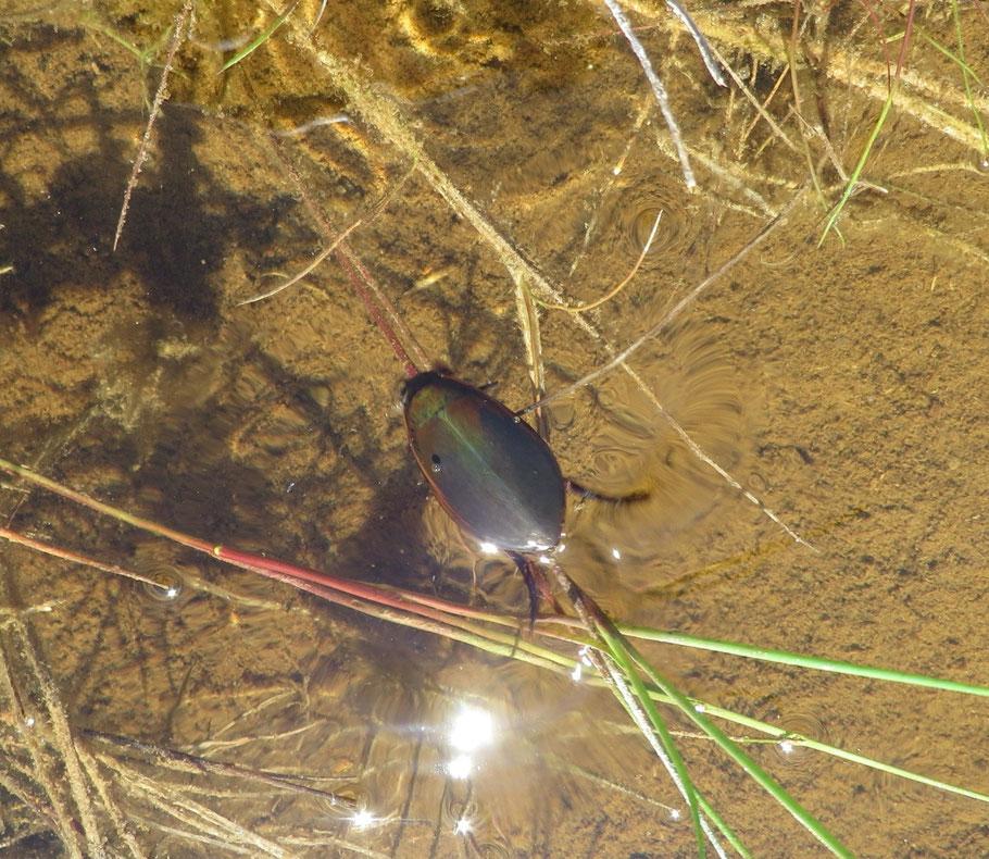 Grote spinnende watertor (Hydrophilus piceus) in het ondiepe water in de Buizerdwei.