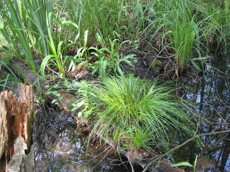 Soortenrijk Elzenbroekbos (B5; Carici eleongatae-Alnetum) in het Eikenmoeras in mei 2008. Te zien zijn: Elzenzegge, Grote boterbloem, Gele lis, Stijve zegge.