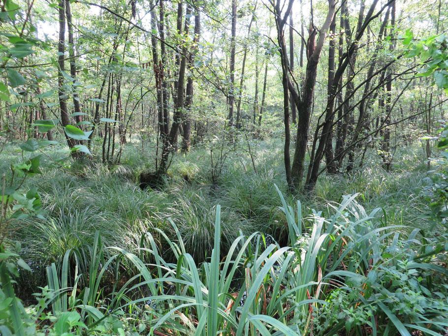 Elzenbroekbos (B6; Carici elongatae-Alnetum typicum) in Adderbroek met Stijve zegge (Carex elata) en Gele lis (Iris pseudacorus).