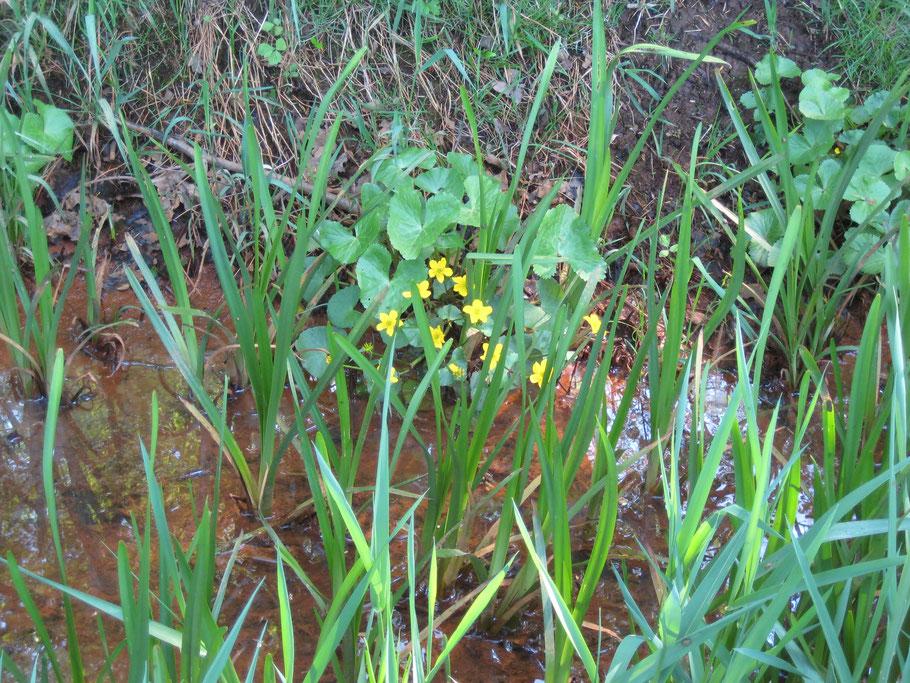 De kwel indicerende moerasplant Gewone dotterbloem (Caltha palustris) in de randsloot van het Populierenbos. Ook de rode neerslag in de sloot en de 'ijzerbacterien' film op het water indiceren kwel.