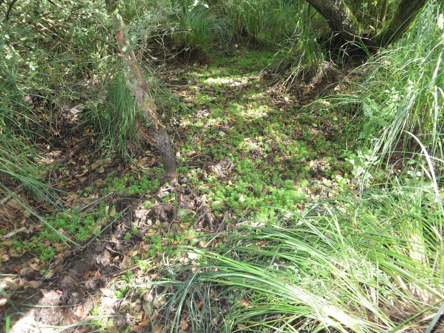 Waterviolier op de bosbodem in het Adderbroek, in de door basische kwel ontstane laagte. De boomvoeten staan ca. 50 cm hoger.