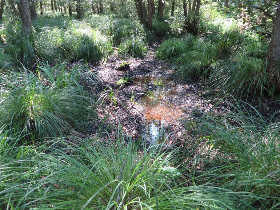 In het Adderbroekbos staat hier en daar nog een (ijzerrijke) plas water.