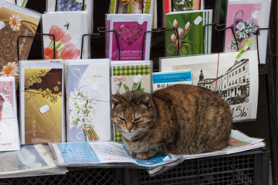 Katze auf Grußkartenständer in Cluj-Napoca. (c) Salomé Weber