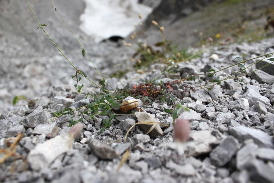 In unregelmäßigen Abständen bahnen sich Pflanzen ihren Weg durch die Geröll-Landschaft am Fuß des Watzmanns. Sogar eine Schnecke hat es geschafft, hier zu überleben. (c) Salomé Weber