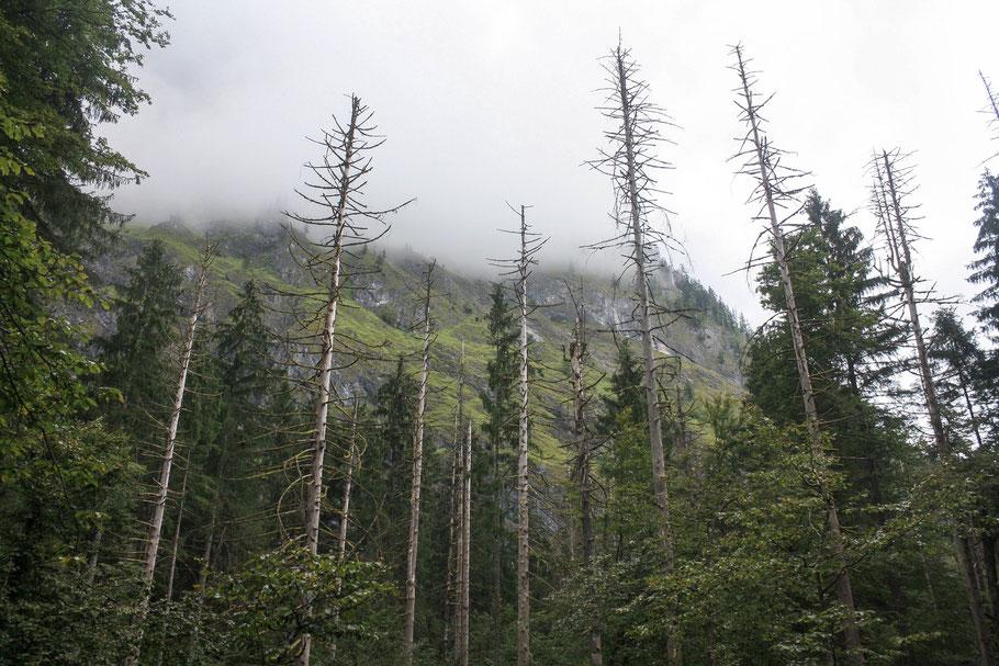 Abgestorbene Bäume, die stehe bleiben, bis sie von selbst umfallen oder von einem Windstoß gefällt werden, sind ein seltener Anblick in deutschen Wäldern. (c) Salomé Weber