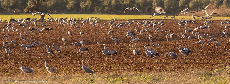Kraniche auf den Feldern rund um die Laguna de Fuente de Piedra