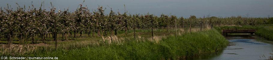 Apfelblüte im Alten Land