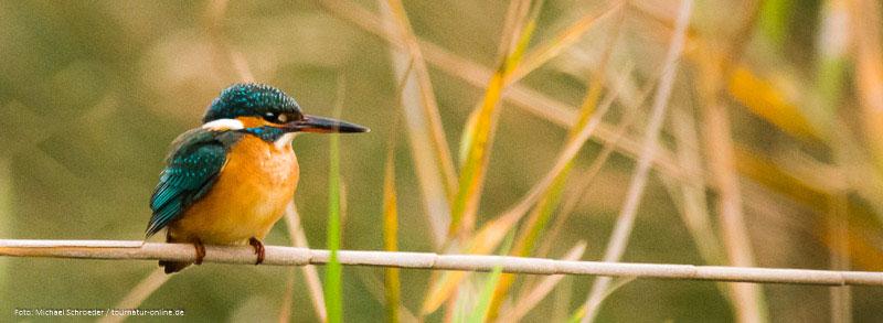 Das Ebro-Delta ist ein Eldorado für die Vogelbeobachtung - Eisvogel