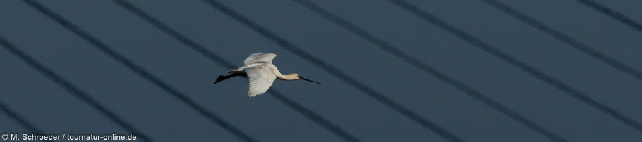 Löffler Brücke Portugal Sapa de Castro Marim Naturpark Birding Vogelbeobachtung Ornithologie spoonbill