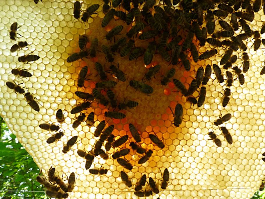 Im Brutraum bauen die Bienen nach eigene Design