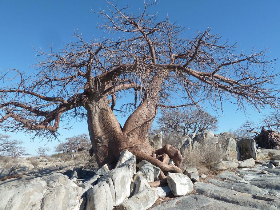 Ein Baobab in den Makgadikgadi-Salzpfannen auf Kubu Island im Nordosten Bostwana