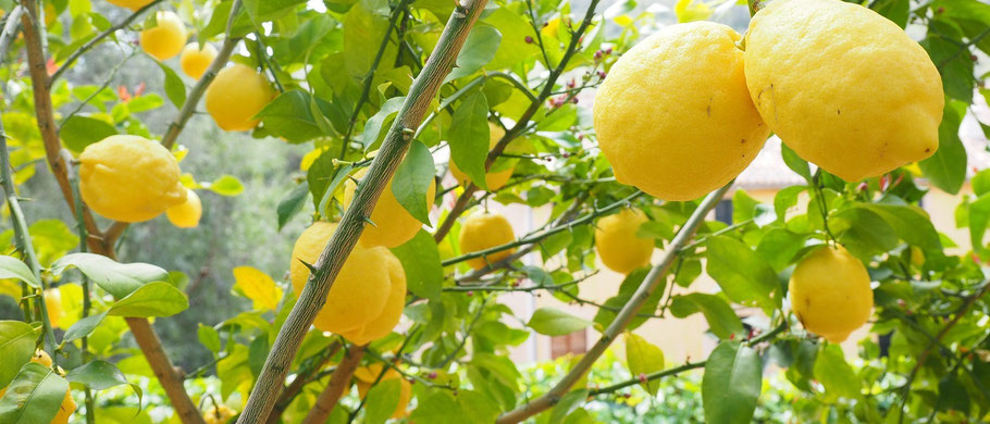 Bild: Matcha-Tee Matcha mit Zitrone Vitamin C