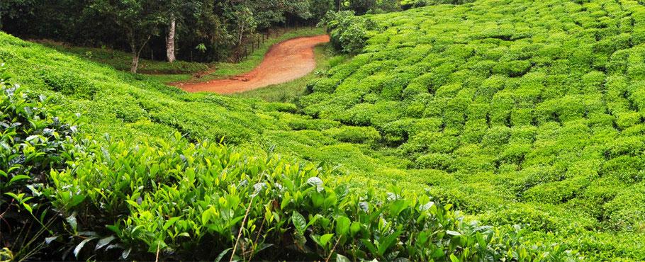 Bild: Matcha Plantage Tencha grüner Tee Japan Uji Kyoto