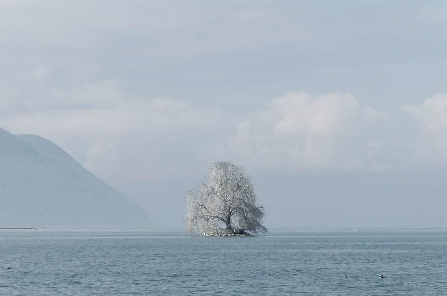 und kein Schnee am Genfer See. Da täuscht das Weiss des Baumes.