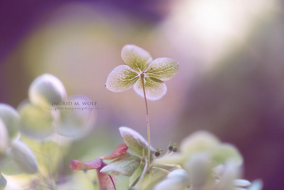 Kleine Blüte der Rispenhortensie