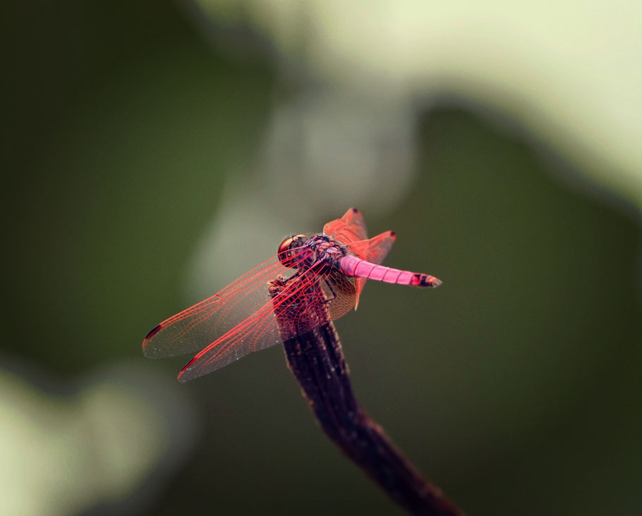Mauritius Libelle dragon fly