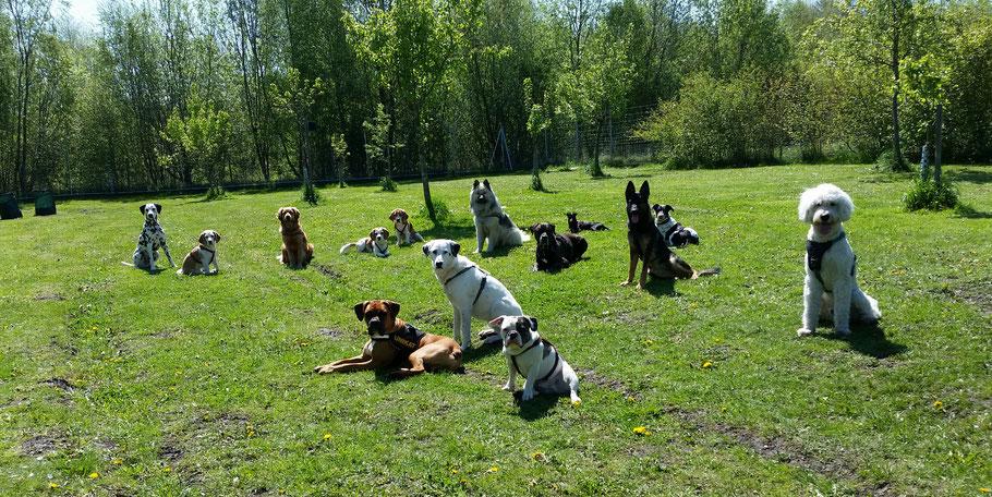 Hunde auf Wiese Rudel Boxer Schäferhund Beagle Mischlinge Bulldogge auf der Wiese
