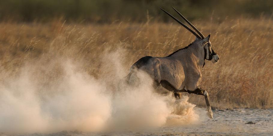 Der Boden ist staubtrocken. Oryx auf der Flucht.