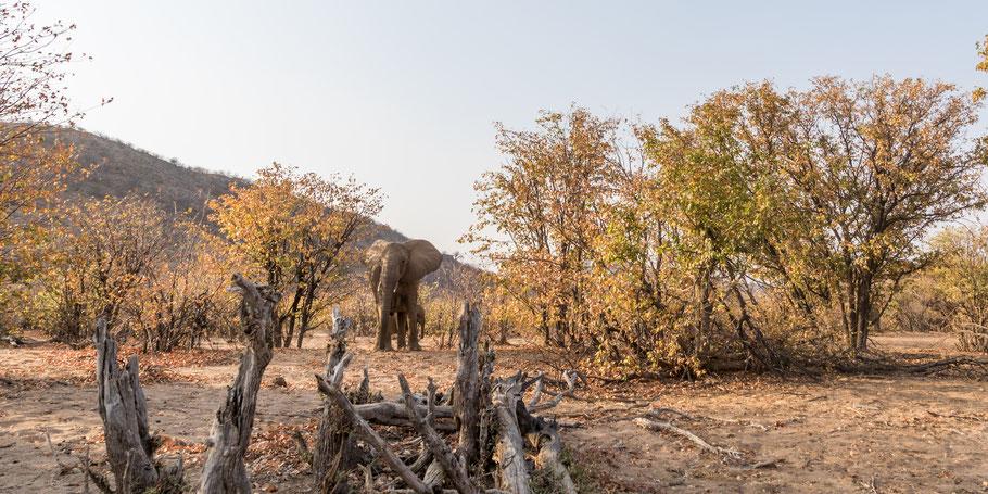 Elefantenkuh mit Jungtier