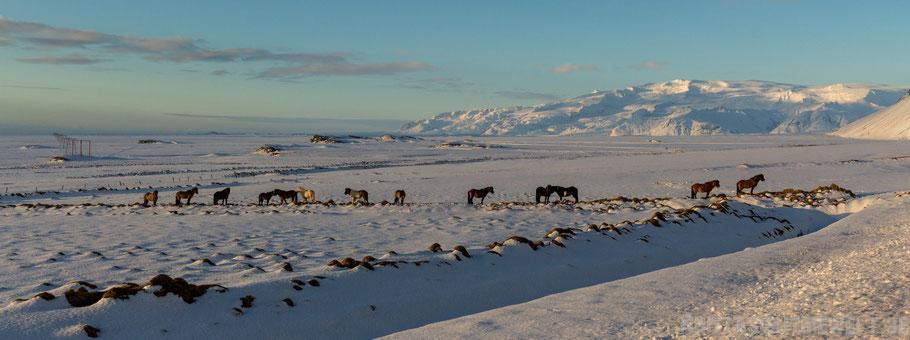 Höfn,Islandpferd,Panorama,Island,Winter,Februar,Schnee.