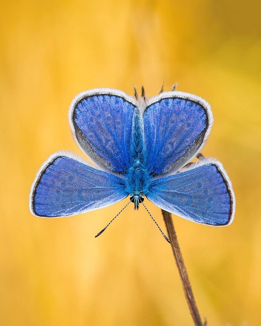 common blue /Hauhechel Bläuling
