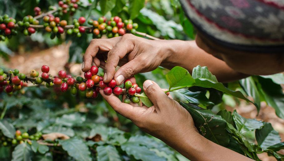 Kaffee handgepflückt